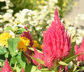 Celosia's feathery plumes add color and texture to any summer garden