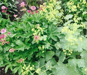 Astrantia major and Alchemilla mollis