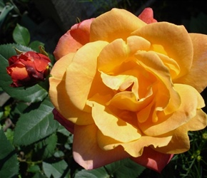 Hybrid tea rose in sunset colors