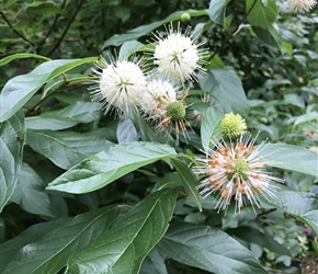 Cephalanthus occidentalis (buttonbush) flowers