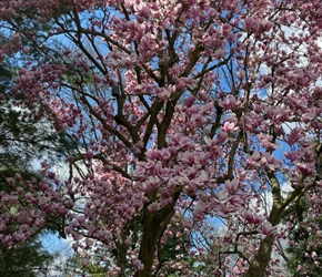magnolia-tree.jpeg