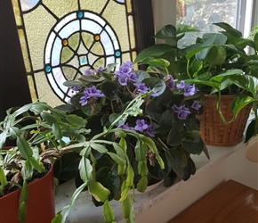 Christmas cactus, African violet and pothos